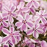Weiß-Rosa Staude Polsterphlox Candy Stripes -phlox subulata- Bodendecker weiß-rosa Blüten immergrün winterhart mehrjährig pflegeleicht - Garten Schlüter - Pflanzen in Top Qualität
