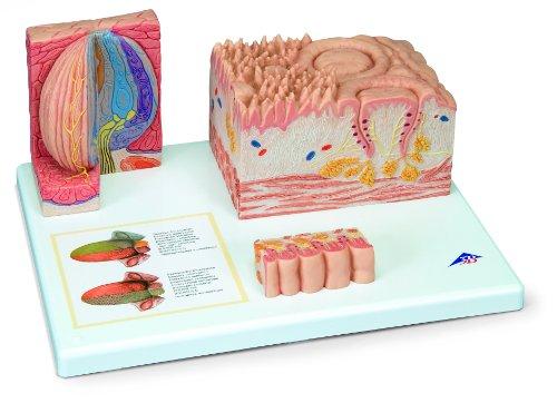 3B Scientific Menschliche Anatomie – MICROanatomie™ Zunge