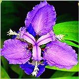 ShopMeeko Seeds:Mixed Iris Bonsai Jardin Dwarf Flower Rare Orchid Bonsai For Home Garden Planting Bonsai Flowers Semillas 100 Pcs/Bag : Brown