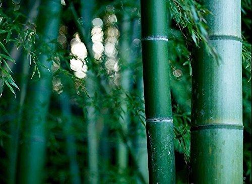 Géant Moso bambou Phyllostachys pubescens 5, 10, 25, 50,100 + graines CombSH