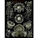 Bumblebeaver Nature Art ERNST Haeckel Plankton SEA Biology