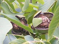 Zwergwalnussbaum