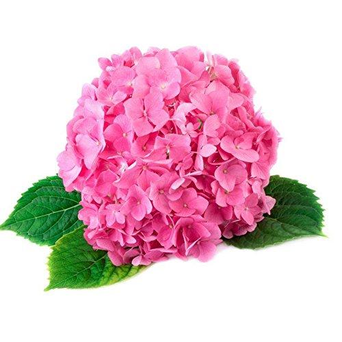Shiningup Hortensia Macrophylla fleur graines jardin plante Bonsaï blanc rose rouge bleu 50 pièces