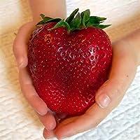 KINGDUO 100Pcs Gigante Rojo Fresa Semillas Reliquia Super Japón Fresa Jardín Semillas
