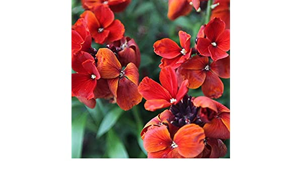 Erysium cheirii Wallflower Fire King Seed Fragrant Cut Flower Perennial