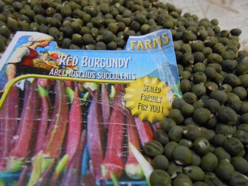 500 Samen OKRA Abelmoschus esculentus 'Burgundy Red' USA Import