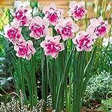 Anitra Perkins - 100Stk Selten Narzissen Samen Bunt,mehrjährig Blumensamen glocken Blumen Saatgut winterhart Blumenzwiebeln für Barkon, Garten (4)