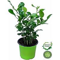 Kaffir-Limette, frische Kaffir Limetten Pflanze, Citrus hystrix, im 12 cm Topf
