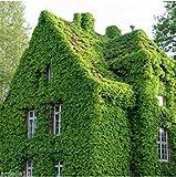 MASSE Kletternde Rebe Woodbine Traube Boston Efeu Samen japanischen Creeper Samen Gartendekoration Pflanze 40pcs W98
