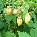 10pcs Blackberry gelbe Himbeeren Obst Himbeere Samen 2 Farben