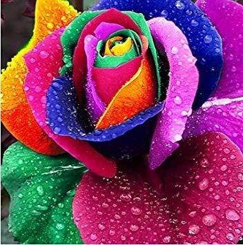 jardinières Pots de fleurs, 20 sortes de 100 graines, Rainbow Rose graines belle rose graines bonsaïs graines pour la maison et le jardin 6