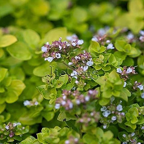 semillas de orégano vulgare * Envío libre * * Wild Mejorana Mejorana Pot * Inglés * Mejorana Wintersweet