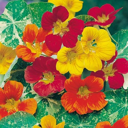 suttons-seeds-124079-nasturtium-jewel-of-africa-mix-seed