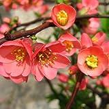 Chaenomeles speciosa - Membrillo japones - Maceta de 3Litros