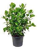 Balsamapfel Princess besondere Zimmerpflanze für Halbschatten Clusia rosea 1 Pflanze 60-70 cm im 31 cm Topf von Redwood