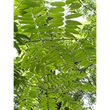 Seedeo® Gemüsemalve Chinesische 200 Samen BIO Malva verticillata