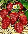 """Erdbeerprofi - Erdbeere """"Korona"""" - 20 Pflanzen - Frigo Erdbeerpflanzen - Junitragend - Erdbeersetzlinge - Erdbeerstecklinge von Erdbeerprofi.de - Du und dein Garten"""