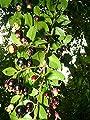 Portal Cool 2 Duftende Blütensträucher, seltene Frucht, chilenisch Myrtle Luma apiculata Keimlinge von Wide Spread bei Du und dein Garten