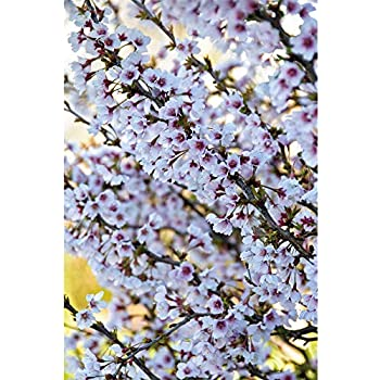 Prunus Accolade Japanese Flowering Cherry Tree 5-6ft Supplied in a 7.5 Litre Pot