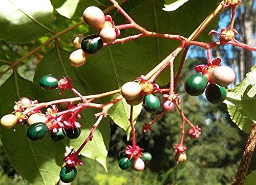 Samen Paket: Indien Quassia Baum, Picrasma quassioides, Hardy, Auffälliges Obst, Hopfen Ersatz