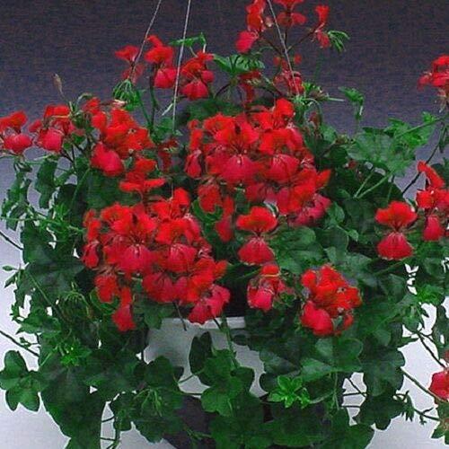 GEOPONICS 10.000+ [2 Unzen]: Zinnia elegans Blumen * Mix * Dahlia Bouqu Heirloo Bulk fliegen -