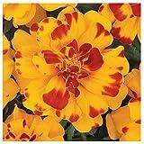 French Marigold Durango Color Bolero - Studentenblume - 10 Samen