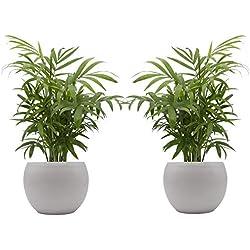 """Zimmerpalmen-Duo mit handgefertigtem Keramik-Blumentopf """"Cresto Weiß"""" - 2 Pflanzen und 2 Dekotöpfe"""