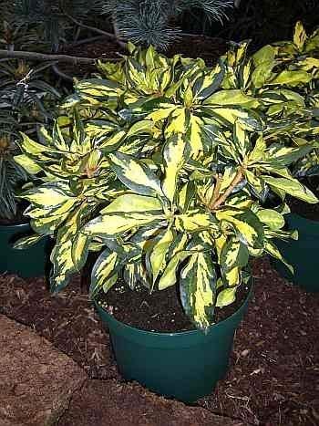 Rhododendron hybr. Blattgold IV
