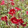 2er-Set - Mimulus cupreus 'Roter Kaiser' - Gauklerblume, rot - Wasserpflanzen Wolff von Wasserpflanzen Wolff auf Du und dein Garten