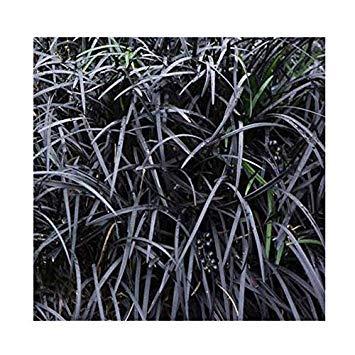 Shop Meeko Ophiopogon planiscapus 'Nigrescens' 15cm Topf Größe