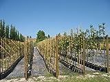 Albizia Julibrissina Pianta Astoni in vaso di Albizia Julibrissina - Astone in vaso