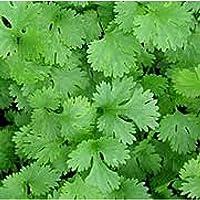 Tradico Super Agri-Fab Green Coriander Importados Bella Semillas Paquete de 3x 20g Cada, Semillas