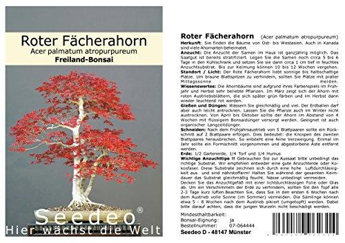 Seedeo Bonsai Geschenk – Set Roter Fächerahorn (Acer palmatum atropurpureum)