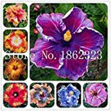 Nouvelle arrivée 2018! 100 Pcs Hibiscus Plantes d'intérieur Bonsai Fleurs des Plantes, 24 Couleurs au Choix des végétaux pour la Maison Jardin Bricolage: Plante en Pot Mixte