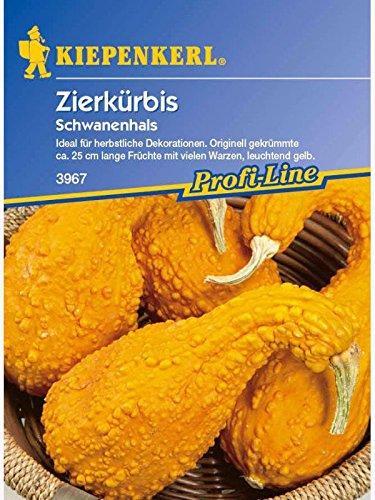 Cucurbita pepo Zierkürbis Schwanenhals gelb gewarzt