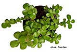 #10: Siam Garden Green Jade Crassula Lucky Feng Shui Plant With Pot Included |Good Luck Plant