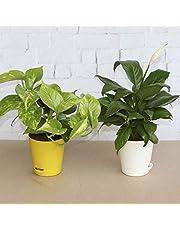Ugaoo Indoor Air Purifier Plants Money Plant Variegated P