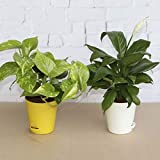 Ugaoo Indoor Air Purifier Plants For Home With Pot - Money Plant Variegated & Peace Lily