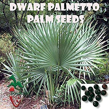 Samen Keimung: 10 Dwarf Palmetto Palm Samen, (Sabal Minor) von Hand gepflückt Nursery
