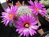 Portal Cool Lot 10 Kakteensamen mit rosaer Blume mit weißem Herzen
