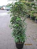 Prunus angustifolia lusitanica - Portugiesische Lorbeerkirsche