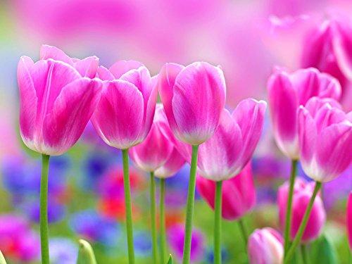 Toutes sortes de bulbes de tulipes belles fleurs de jardin sont appropriés pour les plantes en pot (il n'est pas une graine de tulipe) bulbes 2PC 20