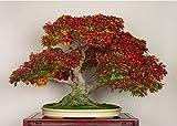#6: Floral Treasure Sugar Maple Bonsai Tree Seeds