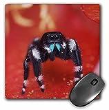 3drose gewagte Jumping Spider, Feigenkaktus Texas–NA02rnu0101–Maus Pad, 8von 20,3cm (MP _ 84241_ 1)