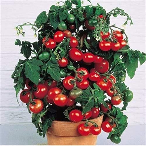 Pinkdose Fruits en pot Légumes cerises tomates bonsaï noir bonsaï princesse noire perle F1 cerise petit 200pcs: 2