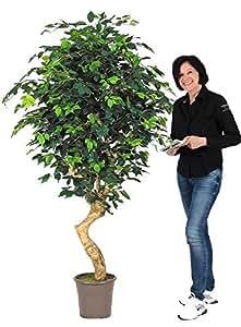 Ficus Elegance - Tronco Vero - Mediterraneo - Artificiale - H.200 cm