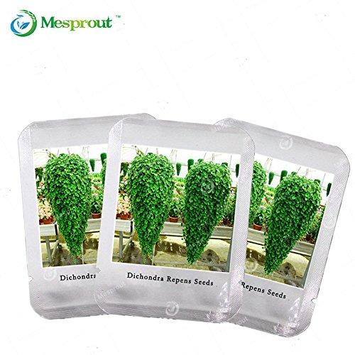 inicio-jardin-de-plantas-3-semillas-genuino-elaeocarpus-reticulatus-semillas-blueberry-arbol-de-ceni