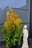 Golden Smaragd Lebensbaum Thuja occidentalis Golden Smaragd 60-80 cm hoch im 5 Liter Pflanzcontainer