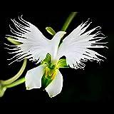 100stk Seltene Weiße Taube Orchidee Samen Bonsai Blumensamen Hausgarten Balkon Deko Pflanzensamen