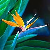 Keptei Samenhaus- 50 Korn Selten Südafrika Strelitzie Blumensamen bunte vogelblume Zimmerpflanze Orchidee Saatgut, Ideal zu Garten Haus und Büro